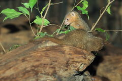 Common dwarf mongoose Royalty Free Stock Image