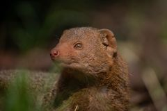 The common dwarf mongoose in a daylight royalty free stock photos
