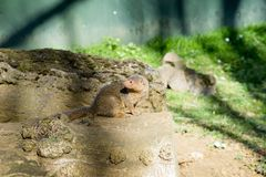 Common Dwarf Mongoose Helogale parvula Royalty Free Stock Photos