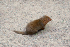 Common dwarf mongoose Stock Image