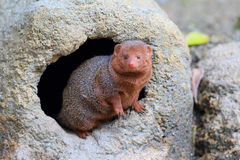 Common dwarf mongoose. (Helogale parvula Royalty Free Stock Image