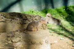 Common Dwarf Mongoose Helogale parvula. Adorable Close Up of a Brown Dwarf Mongoose - Beale Park United Kingdom - 25.03.2017 Royalty Free Stock Photography