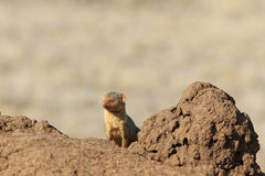 The common dwarf mongoose Helogale parvula Royalty Free Stock Photos