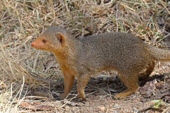 A common dwarf mongoose Stock Photo
