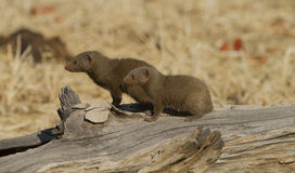 Common Dwarf Mongoose (Helogale parvula) sitting on a log. In the morning sun Stock Image