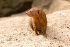 Common Dwarf Mongoose. (Helogale parvula), a small African carnivore. Close-up Royalty Free Stock Photography