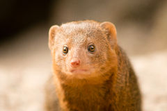 Common Dwarf Mongoose. (Helogale parvula), a small African carnivore. Close-up Royalty Free Stock Image