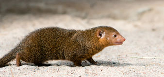 Common Dwarf Mongoose. (Helogale parvula), a small African carnivore. Close-up Stock Photos