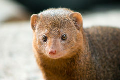 Common Dwarf Mongoose. (Helogale parvula), a small African carnivore. Close-up Royalty Free Stock Photos