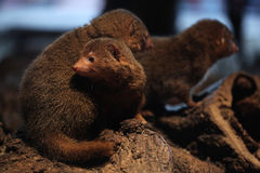 Common dwarf mongoose (Helogale parvula) Royalty Free Stock Photo