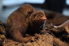 Common dwarf mongoose (Helogale parvula) Stock Images