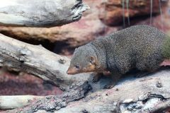 The common dwarf mongoose Helogale parvula at a ZOO royalty free stock image