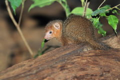 Common dwarf mongoose. The juvenile of common dwarf mongoose Royalty Free Stock Images