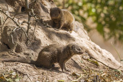 Common dwarf mongoose in Kruger National park, South Africa Royalty Free Stock Photo