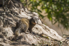 Common dwarf mongoose in Kruger National park, South Africa Stock Photos
