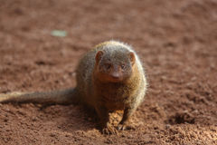 Common dwarf mongoose Royalty Free Stock Photos