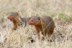 Common dwarf mongooses Stock Image