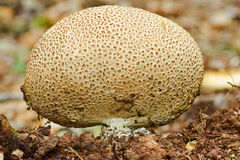 Common earthball Royalty Free Stock Photo