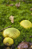 Common Earthball fungus, Scleroderma Citrinum. Growing among moss in the New Forest Royalty Free Stock Image