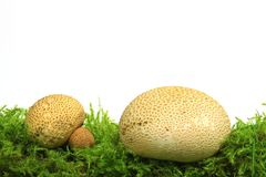 Common earthball Scleroderma citrinum. Also called earthball, pigskin poison puffball, common earth ball - mushroom on green moss before white background Royalty Free Stock Photos
