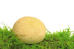 Common earthball Scleroderma citrinum. Also called earthball, pigskin poison puffball, common earth ball - mushroom on green moss before white background Royalty Free Stock Photography