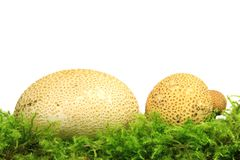 Common earthball Scleroderma citrinum. Also called earthball, pigskin poison puffball, common earth ball - mushroom on green moss before white background Stock Photography