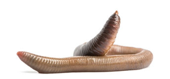 Common earthworm, Lumbricus terrestris, isolated Royalty Free Stock Photo