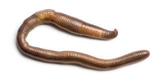 Common earthworm viewed from up high, Lumbricus terrestris Royalty Free Stock Photos