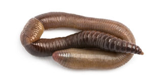 Common earthworm viewed from up high, Lumbricus terrestris. Isolated on white Royalty Free Stock Image
