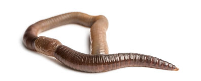 Common earthworm viewed from up high, Lumbricus terrestris. Isolated on white Royalty Free Stock Photo