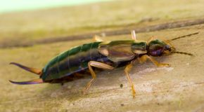 Common earwig Stock Photos