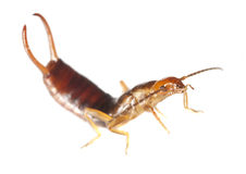 Common earwig (Forficula auricularia) royalty free stock photography