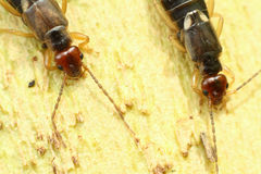 Common earwigs Royalty Free Stock Photography