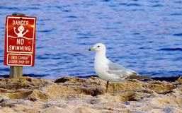Common East Coast Seagull Stock Images