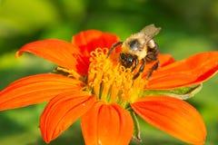 Common Eastern Bumble Bee - Bombus impatiens. Common Eastern Bumble Bee collecting nectar from an orange flower. Rosetta McClain Gardens, Toronto, Ontario royalty free stock photos