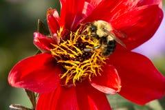 Common Eastern Bumble Bee - Bombus impatiens. Common Eastern Bumble Bee collecting nectar from a red flower. Rosetta McClain Gardens, Toronto, Ontario, Canada stock images