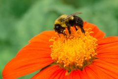 Common Eastern Bumble Bee - Bombus impatiens. Common Eastern Bumble Bee collecting nectar from an orange and yellow flower. Rosetta McClain Gardens, Toronto royalty free stock images