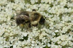 Common Eastern Bumble Bee - Bombus impatiens. Common Eastern Bumble Bee collecting nectar from a white Wild Carrot flower. Todmorden Mills Park, Toronto, Ontario royalty free stock photo