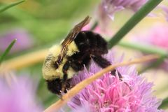 Common Eastern Bumble Bee Exploring The Possibilities In A Chive Blossom. Royalty Free Stock Photos