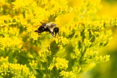 Common Eastern Bumblebee - Bombus impatiens. Common Eastern Bumble Bee collecting nectar from a yellow Goldenrod flower. Colonel Samuel Smith Park, Toronto royalty free stock photo