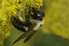 Common Eastern Bumblebee Stock Image