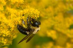 Common Eastern Bumblebee. Collecting nectar from goldenrod. Colonel Samuel Smith Park, Toronto, Ontario, Canada Stock Images