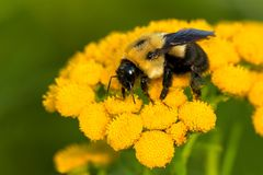 Common Eastern Bumblebee. Collecting nectar from a yellow Common Tansy flower. Todmorden Mills, Toronto, Ontario, Canada Royalty Free Stock Images