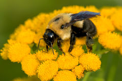 Common Eastern Bumblebee Royalty Free Stock Image