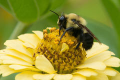 Common Eastern Bumblebee. Collecting nectar from a yellow flower. Rosetta McClain Gardens, Toronto, Ontario, Canada Stock Images