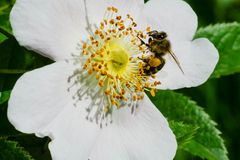 Common Eastern Bumblebee. Collecting pollen from a white flower. Cherry Beach, Toronto, Ontario, Canada Royalty Free Stock Photo