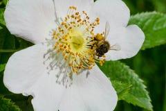 Common Eastern Bumblebee. Collecting pollen from a white flower. Cherry Beach, Toronto, Ontario, Canada Stock Photos