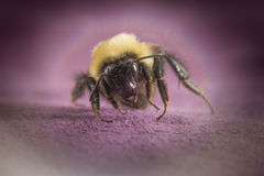Common Eastern Bumblebee Royalty Free Stock Images