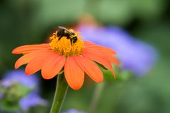 Common Eastern Bumble bee on Mexican Sunflower Stock Images