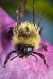 Common Eastern Bumblebee Stock Photo